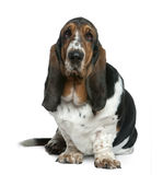 Basset hound, 2 years old, sitting Royalty Free Stock Image