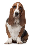 Basset Hound, 2 years old, sitting. In front of white background royalty free stock photography