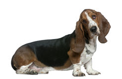 Basset hound, 22 months old, sitting Stock Photos