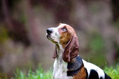 Basset hound. Sitting in the rain Stock Image