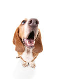 A basset hound royalty free stock image