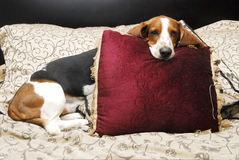Basset hound. A basset hound on a bed holding a pillow in its mouth royalty free stock images