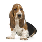 Basset Hound (3 months) - hush puppy. Basset Hound (3 months) in front of a white background stock photos