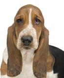Basset Hound (3 months) - hush puppy. Basset Hound (3 months) in front of a white background stock photography