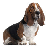 Basset Hound, 3 years old, sitting Stock Image
