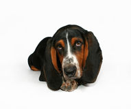 Basset hound. A baby basset hound lying down Royalty Free Stock Image