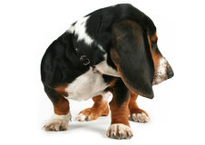 Basset hound. A basset hound puppy looking to the side Royalty Free Stock Photography