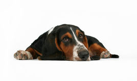 Basset hound. A basset hound lying down on a white background royalty free stock image