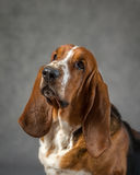 Basset hound Immagine Stock Libera da Diritti