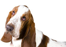 Basset Hound Photo stock