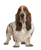 Basset Hound, 4 years old. Standing in front of white background stock photo