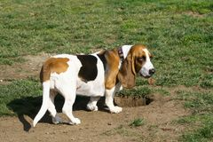 Basset Hound. Ok, who is the wise guy that dug up my bone Stock Image