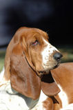 Basset Hound. Outdoor profile portrait of a beautiful adult Basset Hound dog staring Royalty Free Stock Photography