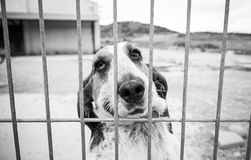 Basset hound abandoned Royalty Free Stock Images