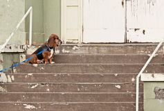 Basset Hound At Abandoned Building. RnAn old basset hound sitting on the steps of an abandoned building.rnrnrn royalty free stock photography