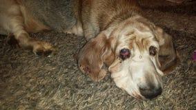 Basset Hound. Adult basset hound with sick eyes royalty free stock image
