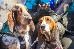 Basset hound alla sfida fangosa del cane fotografia stock libera da diritti