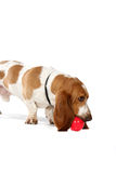 Basset hound with ball Royalty Free Stock Photo