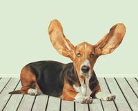 Basset hound. Dog humor puppy close-up pets canine royalty free stock photo