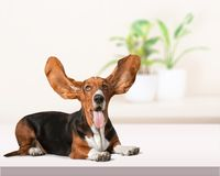 Basset hound royalty free stock images