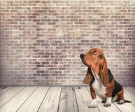 Basset hound. Hound dog looking up white pets paw royalty free stock photography