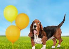 Basset hound. Hound dog looking up white pets paw stock photo