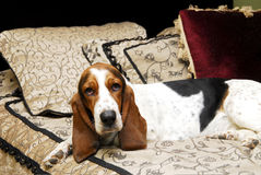 Basset Hound On Bed. Portrait of a Basset Hound lounging on a bed.  Horizontal format Stock Photos