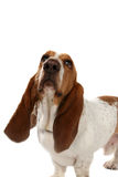 Basset hound with big long ears. Big basset hound dog looking up against a white background royalty free stock image