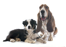 Basset hound and border collie Royalty Free Stock Photos