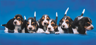 Basset Hound Breeding Puppies Royalty Free Stock Images