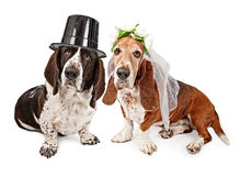 Basset Hound Bride and Groom. A male and a female Basset Hound dressed as a bride and groom. Isolated on white stock photos