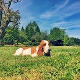 Basset Hound In British Countryside - Grass Dog Puppy. Basset hound in British countryside meadow on sunny day stock photo