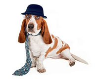 Basset Hound Businessman. A funny image of a Basset Hound dog dressed as a businessman wearing glasses, a hat and necktie stock image