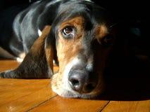 Basset hound che thinkinging e che chiling Fotografia Stock