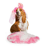 Basset Hound Cheerleader Dog Stock Stock Images