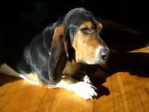 Basset hound chilling. A basset hound was chilling under the sun while waiting for his owner Royalty Free Stock Photo