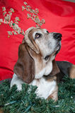 Basset Hound at Christmas Stock Photo