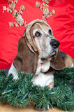 Basset Hound at Christmas. Basset hound wearing comedy reindeer antlers and looking unimpressed with Christmas royalty free stock photos