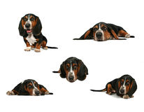 Basset hound collage stock photography