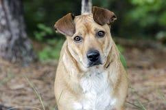 Basset Hound Corgie mixed breed dog Stock Images