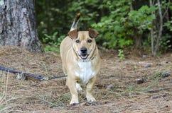 Basset Hound Corgie mixed breed dog Royalty Free Stock Photos