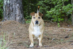Basset Hound Corgie mixed breed dog Royalty Free Stock Photo