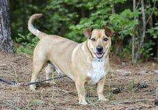 Basset Hound Corgie mixed breed dog Stock Photography