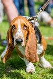 Basset hound in a crowd Royalty Free Stock Images