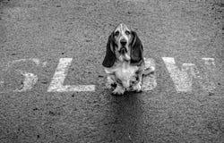 Basset Hound, das langsam ist! Lizenzfreie Stockfotografie