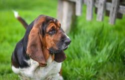 Basset hound di un anno (familiaris di canis lupus) nell'iarda di un'azienda agricola di hobby immagine stock