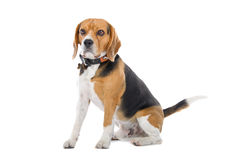 Basset Hound dog Royalty Free Stock Photography