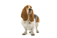Basset Hound dog Royalty Free Stock Image
