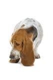 Basset Hound dog. Closeup of cute English Basset Hound dog, isolated on white background royalty free stock photo