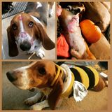 Basset hound stock images
